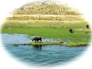 water buffalo rice patties