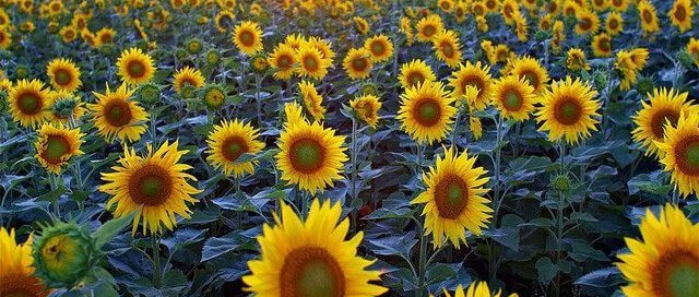 sunflowers in a field as the sun rises